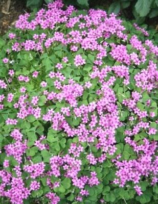 oxalis pink.jpg