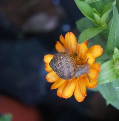 snail-on-calendula.jpg