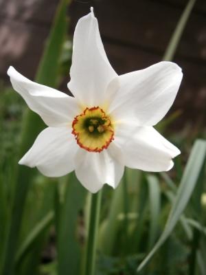 Narcissus_poeticus_'Recurvus'06.jpg