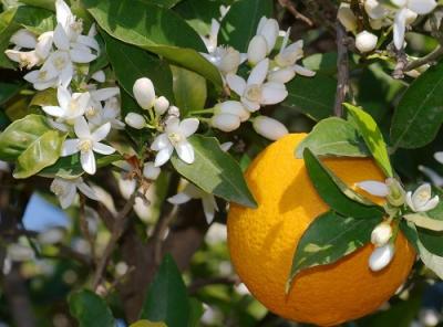 citrus_sinensis-1large.jpg