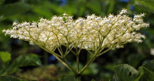 elderberryflower.jpg