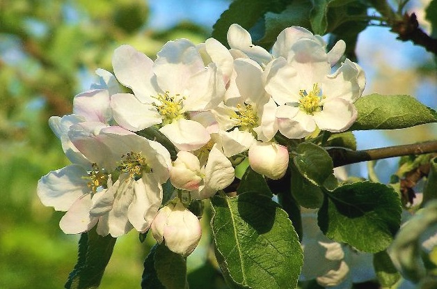 apple_blossoms_3.jpg
