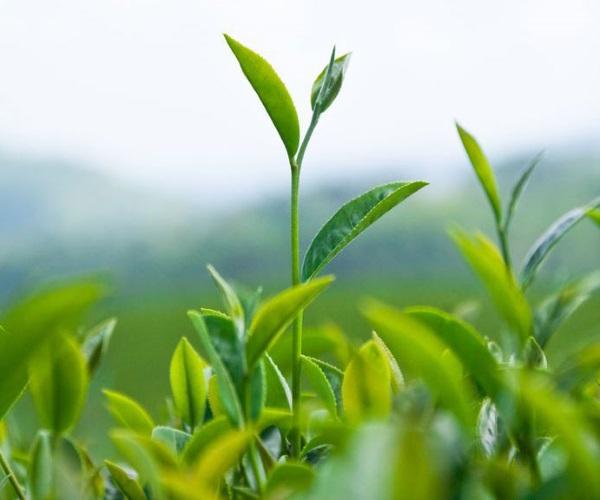 Matcha-plants-1.jpg