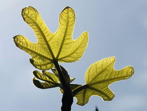 foglie-di-fico.jpg