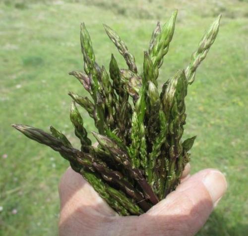 mazzo-di-asparagi-selvatici-bosa-foto-kate-dayman.jpg