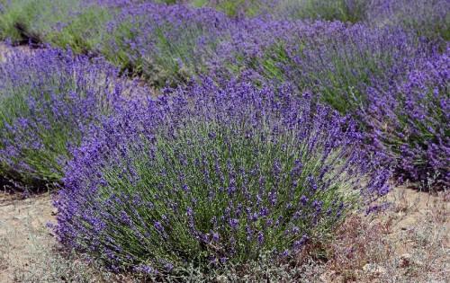 Lavender-025-copy-e1312166359767.jpg