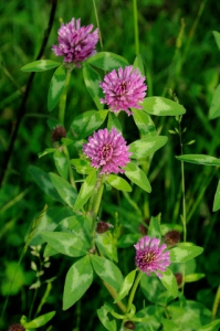 D_red_clover_flowers.jpg