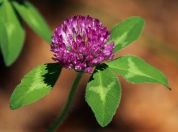 red-clover-flower-113867_640.jpg