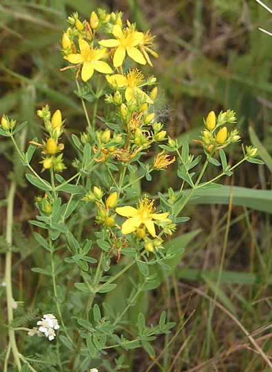 common-st-johnswort_0703_151756.jpg