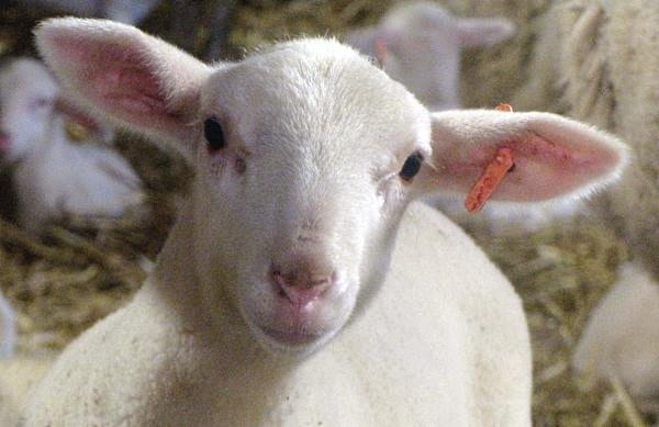 agneau-cavalquinta.jpg